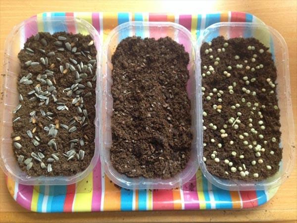 Semena na gosto posejemo v plitvo embalažo